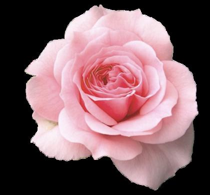 rose.png?type=w420