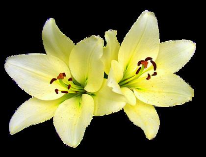flowerpngmarysse_%287%29.png?type=w420